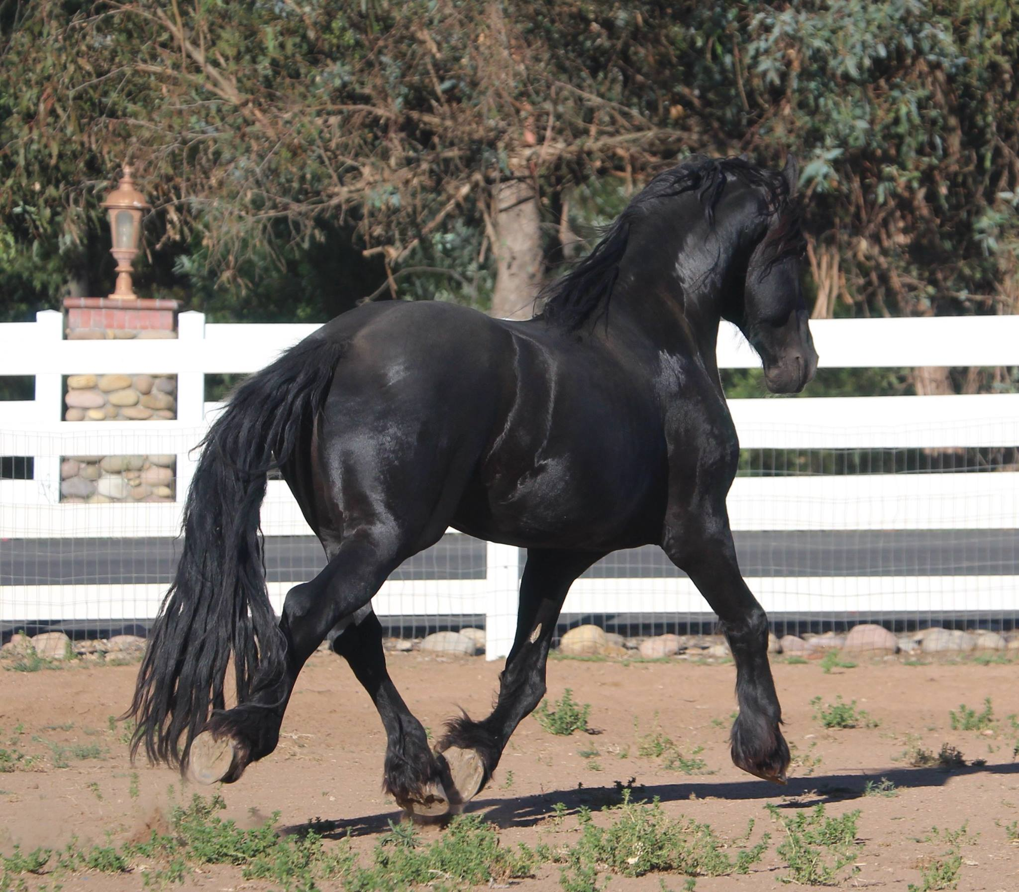 Arragon Friesian Stallion for Sale - ramonaequine net