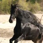 Wander 356 Friesian Stallion